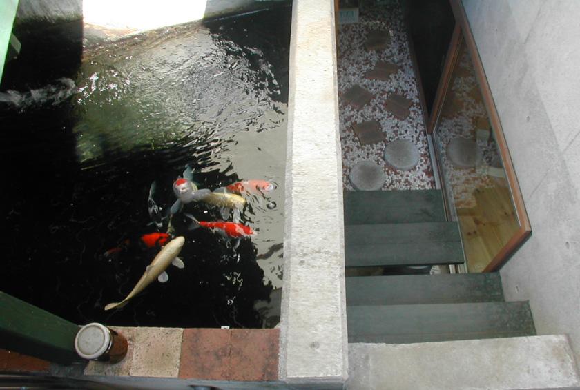 ペットの鯉